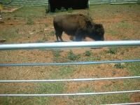 Buffalo at the Cherokee Trading Post